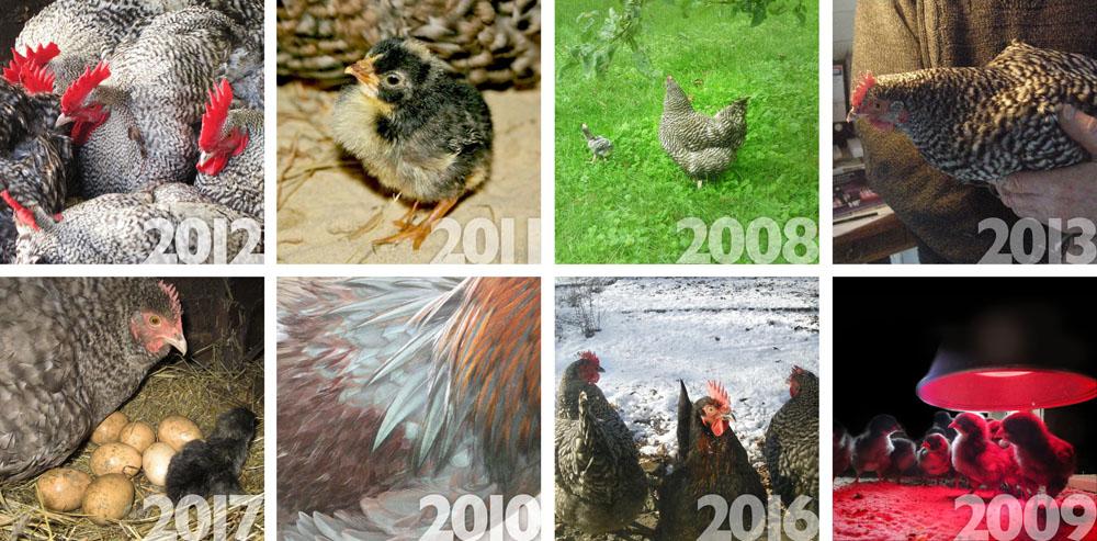 KIPPEN | Elk jaar maak ik een kippenkalender.