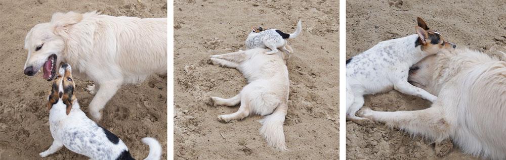 Stoeiende honden in het zand. Deze twee kunnen het heel goed met elkaar vinden. Ella en Beer zijn even oud, nu negen maanden. En als je 'zit' tegen ze zegt